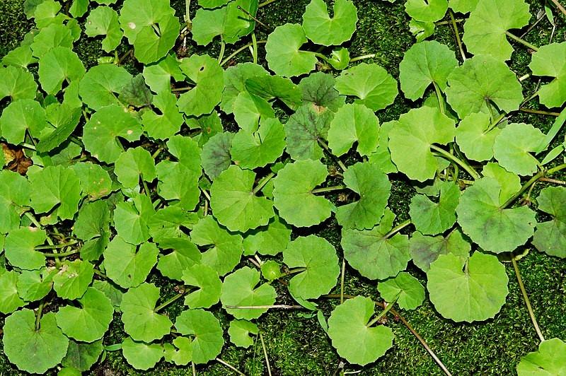 Cica Leaves